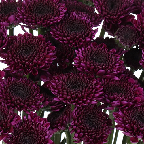 Burgundy Purple Micro Pom Cushion Flower