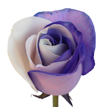 Purple and White Rainbow Roses