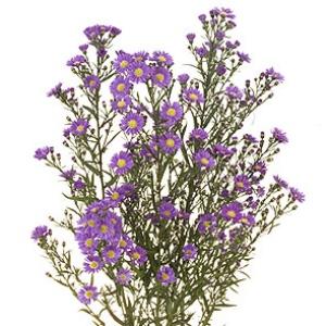 Aster Flowers Purple