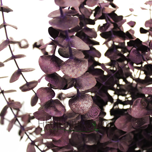 Purple Tinted Baby Eucalyptus