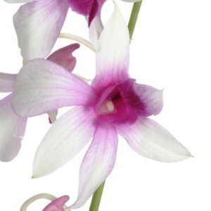Purple Centered Fresh Orchid Lei