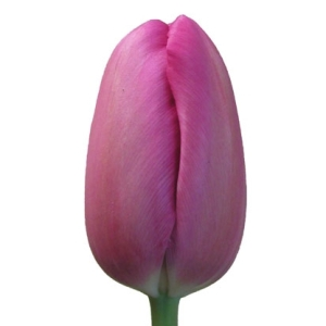 Tulips French Purple Flower
