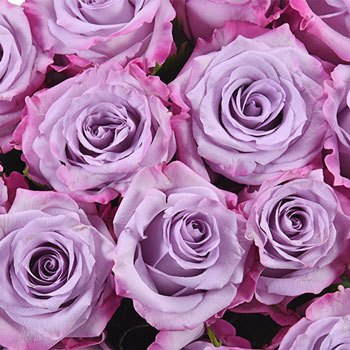 Purple Haze Lavender Rose