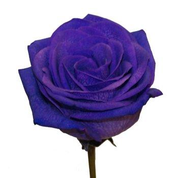 Fresh Roses Purple Tinted