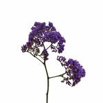 Bulk Purple Statice Flower
