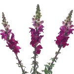 Lavender Snapdragon Fresh Cut Flower