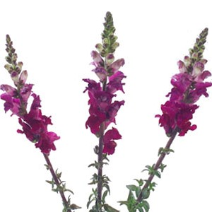 Snapdragon Purple Lavender Flower