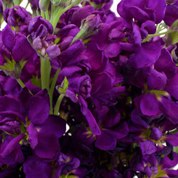 Purple Stock Wholesale Flower Upclose