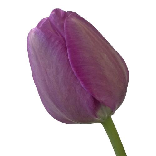 Lavender Gem Tulips