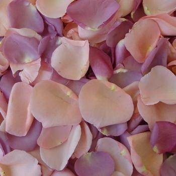 Purple and Pink Bulk Rose Petals