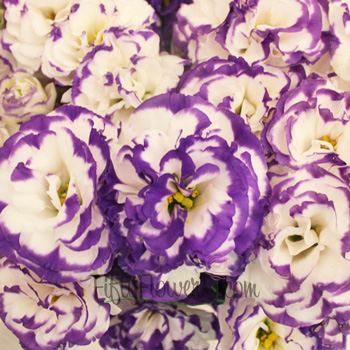 Purple Tipped Lisianthus Flower for June to September Delivery