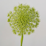 Queen Anne's Lace Filler Flower