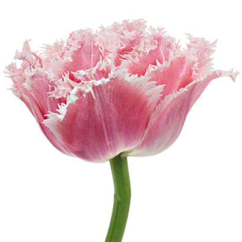 Ombre Rose Quartz Double Fringed Tulips