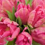 Rai Novelty Tulip Flower