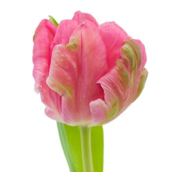 Novelty Tulip Dark Pink Flower