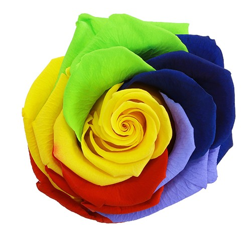 Preserved Rainbow Arlequin Rose