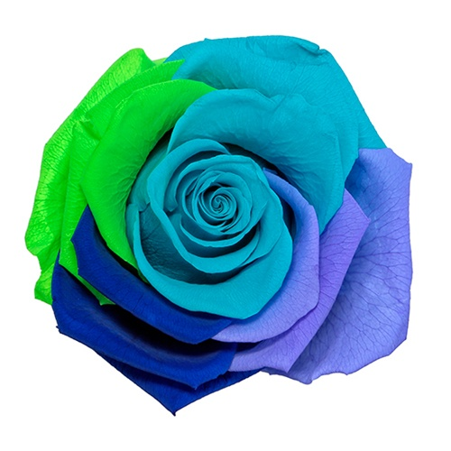 Preserved Rainbow Divine Rose