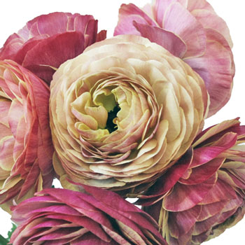 Raspberry Designer Japanese Ranunculus Flower