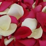 Magenta Real Rose Petals
