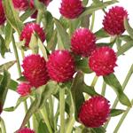 Raspberry Quartz Globosa Gomphrena Flower
