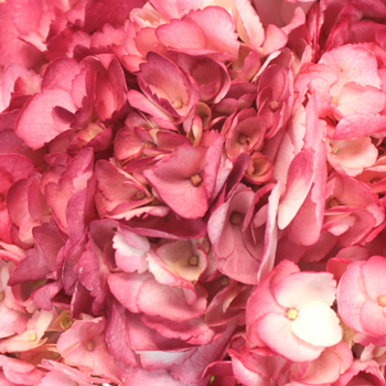 Sizzling Salmon Pink Airbrushed Hydrangea