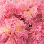 Pink_Peonies_Sarah_Bernhardt