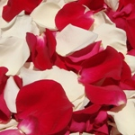 Magenta Fresh Rose Petals Wholesale