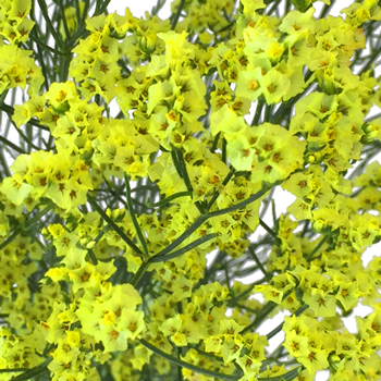 Lemon Lime Airbrushed Limonium