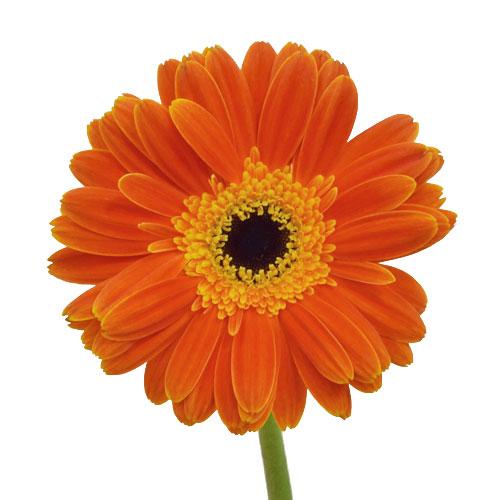 Fire Orange and Yellow Super Gerber Daisy Flower