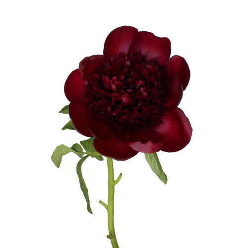 Burgundy Red Charm Peonies Flower December Delivery