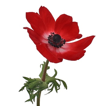 Red Fresh Cut Designer Anemones