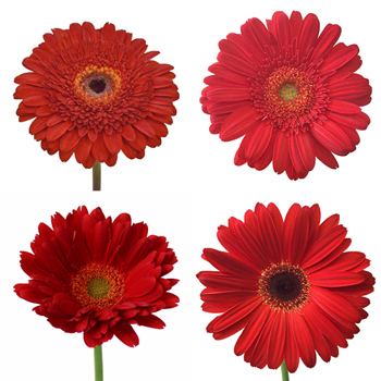 Red Gerber Daisy Flower