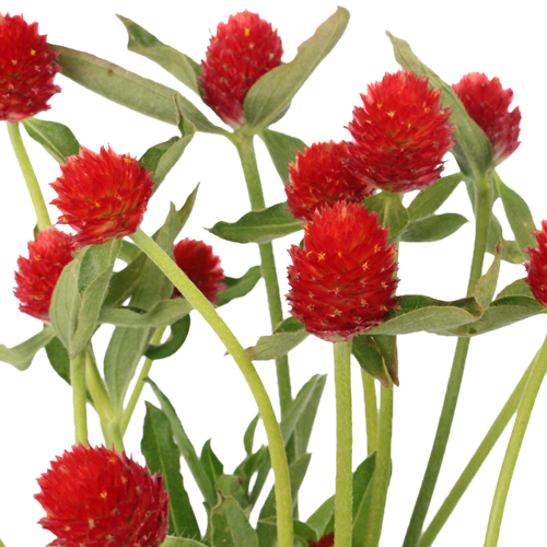 Red Gomphrena Wholesale Flowers
