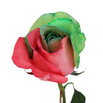 Christmas Rainbow Roses