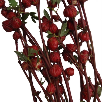 Red Hibiscus Pods