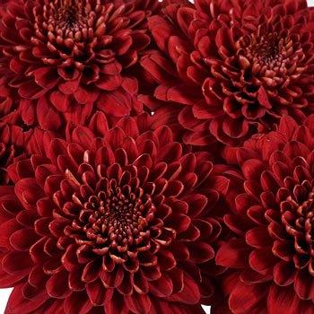 Bolero Red Cremon Flower