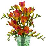 Bulk Red Freesia Flower