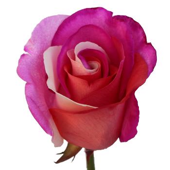 Confetti Hearts Rainbow Roses