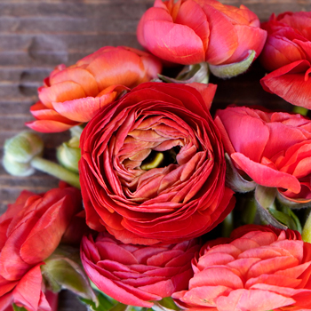 Red Ranunculus Fresh Cut Flower
