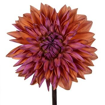 Desert Sunset Dahlia Flower