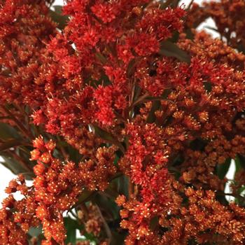 Enhanced Red Estelle Filler Flower