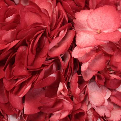 Lipstick Red Airbrushed Hydrangea