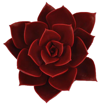 Ruby Red Succulent Flower