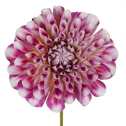 My Fair Lady Dahlia Flower