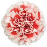 Bulk Carnation Flowers Bicoloro Red and White