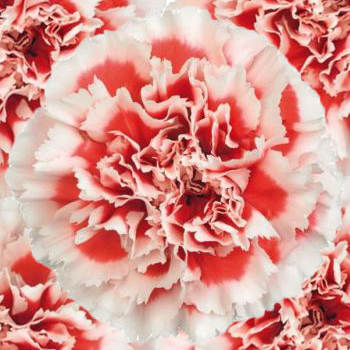 Red and White Fresh Carnations