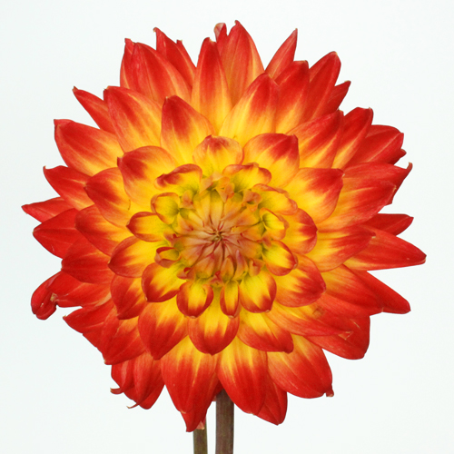 Blazing Hot Dahlia Flowers