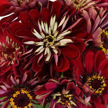 Shades of Deep Red Zinnia