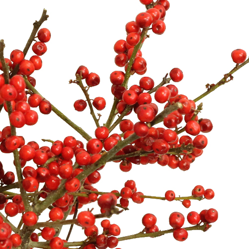 Red Ilex Berry Branches