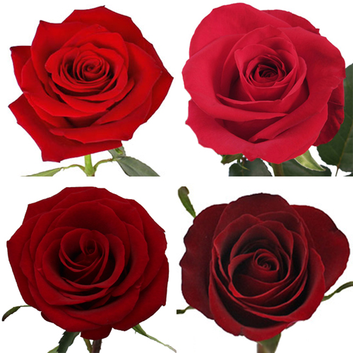 Red Ecuadorian Roses